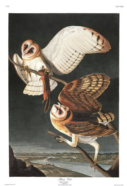 Barn Owl Painting - Barn Owl by John James Audubon