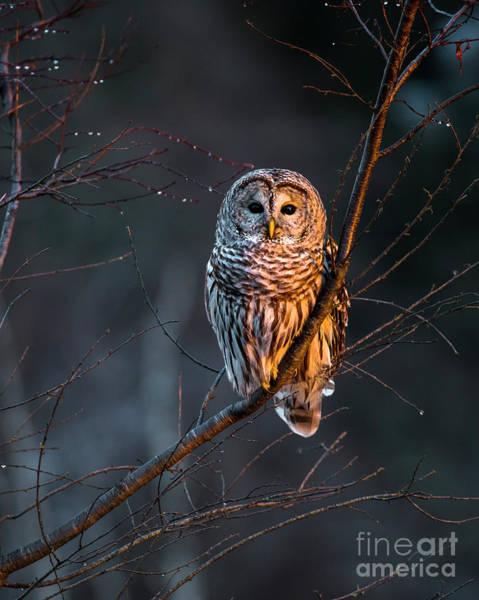 Wall Art - Photograph - Barred Owl Tall by Benjamin Williamson