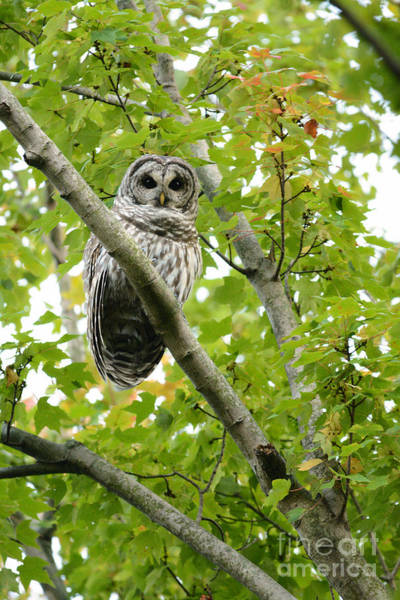Photograph - Barred Owl by Charles Owens