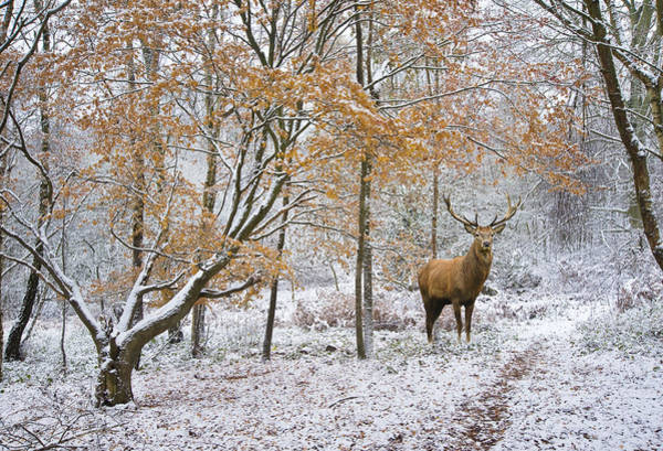 Wall Art - Photograph - Beautiful Red Deer Stag In Snow Covered Festive Season Winter Fo by Matthew Gibson