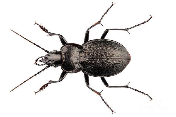Antenna Painting - Beetle Species Carabus Coriaceus by Pablo Romero