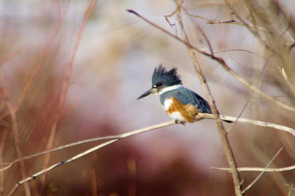 White Swan Photograph - Belted Kingfisher by Jeff Swan