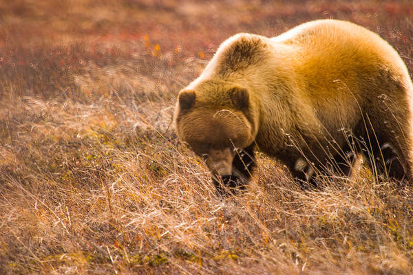 Photograph - Big Hungry Grizzly by Jeff Folger