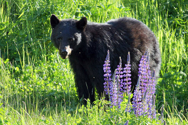 Photograph - Black Bear In The Lupines Whistler Canada by Pierre Leclerc Photography