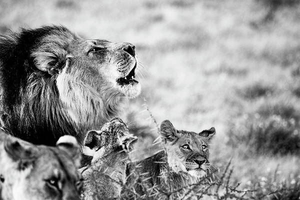 Photograph - Black-maned Lion Of The Kalahari With Two Cubs In Black And White by Kay Brewer