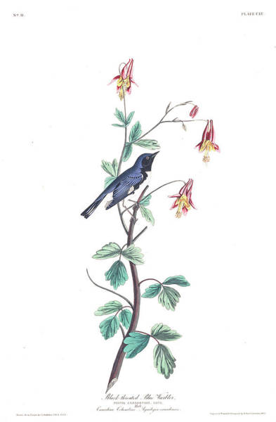 Wall Art - Painting - Black-throated Blue Warbler by John James Audubon