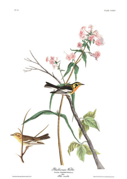 Wall Art - Painting - Blackburnian Warbler by John James Audubon