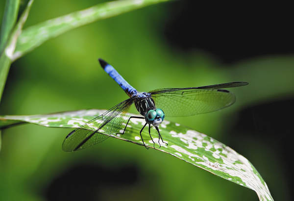 Photograph - Blue Dasher by Bill Dodsworth