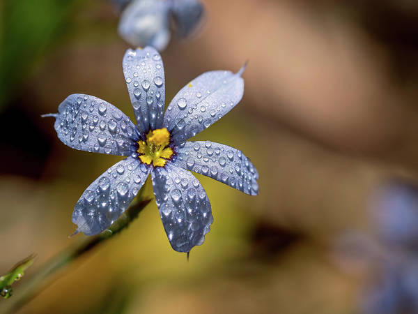 Photograph - Blue Eyed Grass Flower by Brad Boland