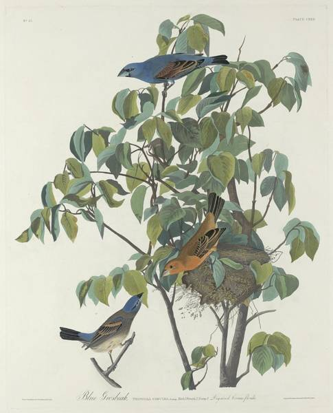 Wall Art - Drawing - Blue Grosbeak by Dreyer Wildlife Print Collections