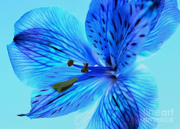 Amaryllis Photograph - Blue Summer II by Krissy Katsimbras