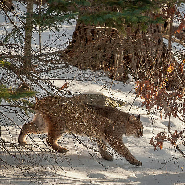 Photograph - Bobcat by Brenda Jacobs