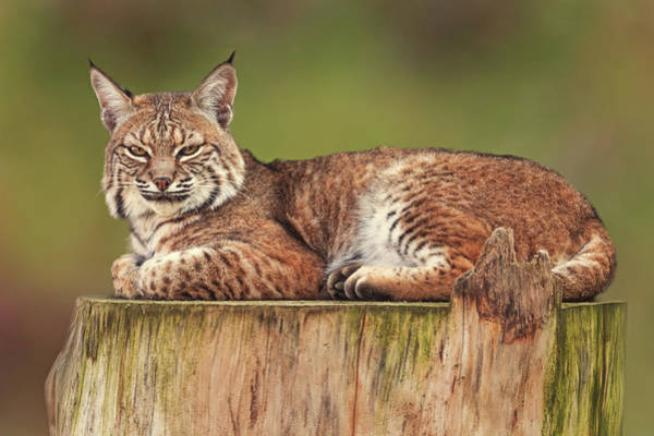 Photograph - Bobcat  by Brian Cross