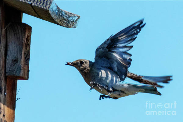 Wall Art - Photograph - Bringing Dinner by Mike Dawson