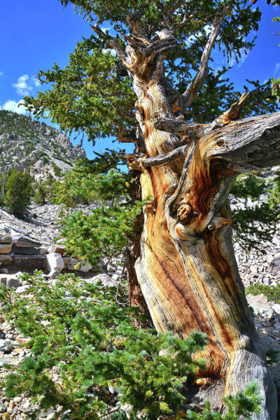 Bristlecone Loop Trail Art Print