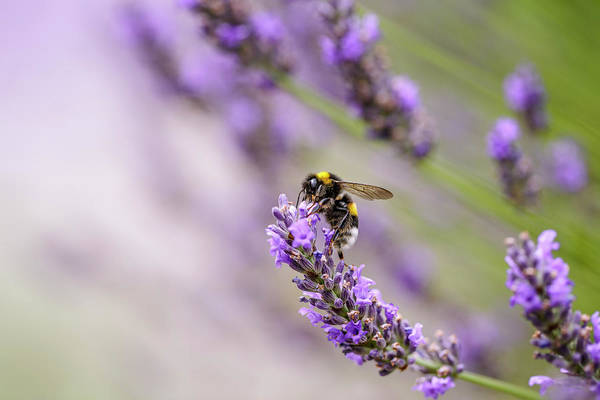 Herbal Wall Art - Photograph - Bumblebee And Lavender by Nailia Schwarz