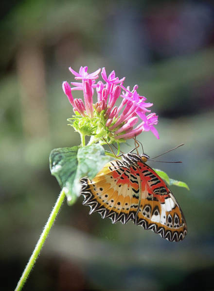 Photograph - Butterfly by Sue Collura