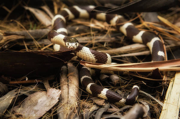 Wall Art - Photograph - California Kingsnake by Rich Leighton