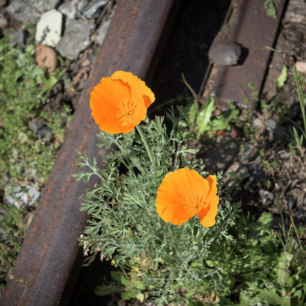 Photograph - California Poppies by Jim Thompson