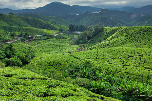 Photograph - Cameron Highlands Tea Plantation by Fabrizio Troiani