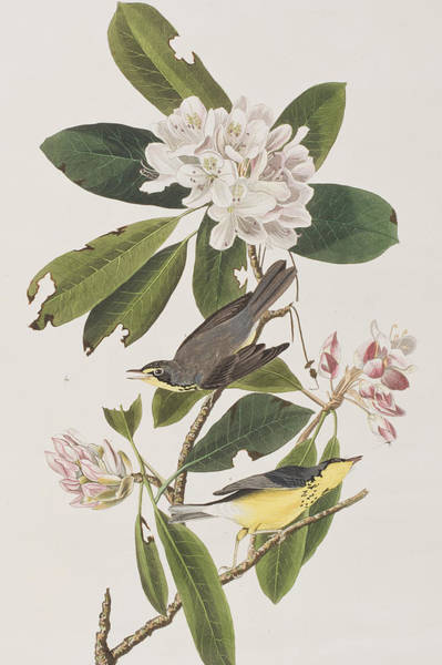 Wild Flowers Drawing - Canada Warbler by John James Audubon