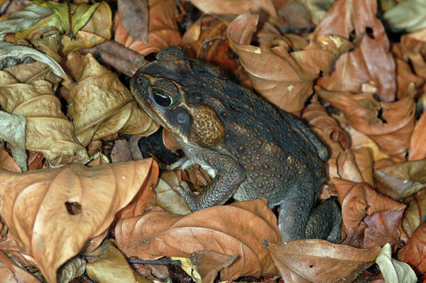 Art Print featuring the photograph Cane Toad by Breck Bartholomew