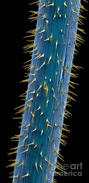 Photograph - Cannabis Seedling Stem, Sem by Ted Kinsman