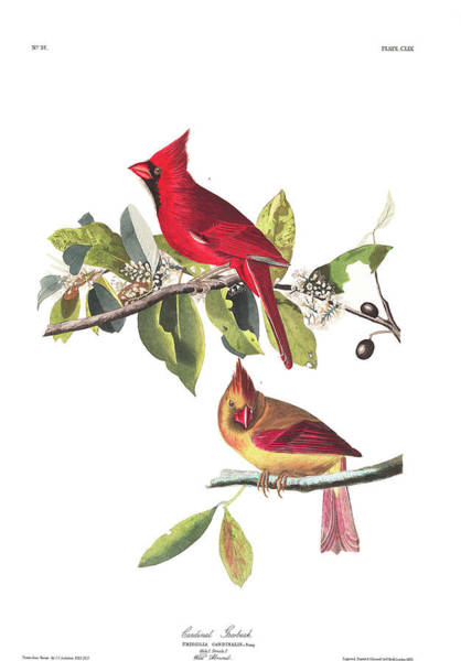 Wall Art - Painting - Cardinal Grosbeak by John James Audubon