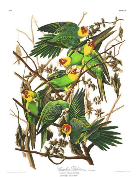 Wall Art - Painting - Carolina Parrot by John James Audubon