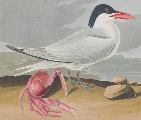 Wall Art - Painting - Cayenne Tern by John James Audubon