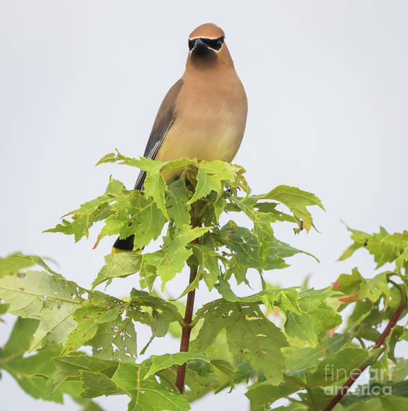 Photograph - Cedar Waxwing by Ricky L Jones