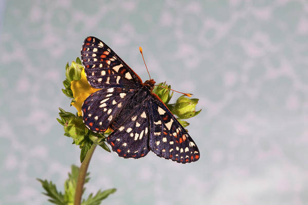 Wall Art - Photograph - Hoffman's Checkerspot Butterfly by Buddy Mays