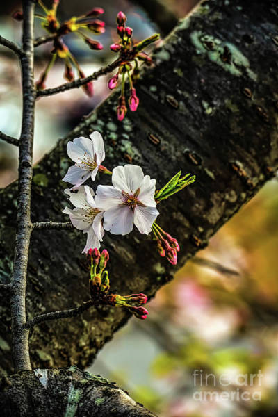 Photograph - Cherry Tree Blossoms by Elijah Knight