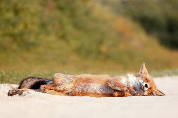 Chilling Photograph - Chill Fox by Roeselien Raimond