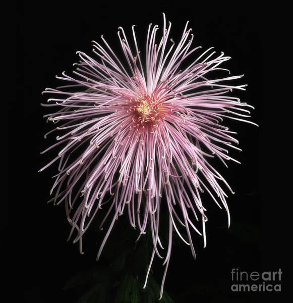 Photograph - Chrysanthemum 'pink Splendor' by Ann Jacobson