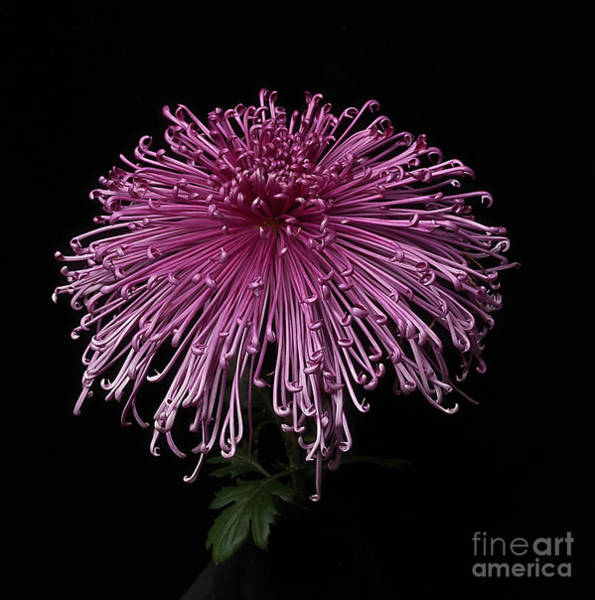 Photograph - Chrysanthemum 'seaton's Galaxy' by Ann Jacobson