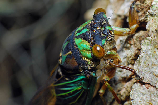 Photograph - Cicada by Larah McElroy