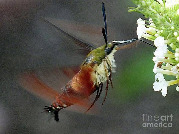 Clearwing Moth Photograph - Hovering Clearwing Hummingbird Moth  by Cindy Treger