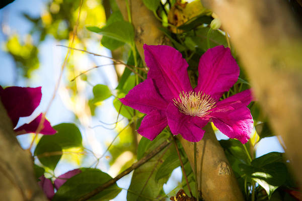 Photograph - Clematis In Bloom by Barry Jones