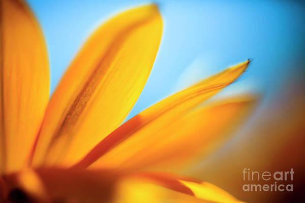 Osteospermum Hybrid Photograph - Close Up Of A Yellow Daisy by Vladi Alon