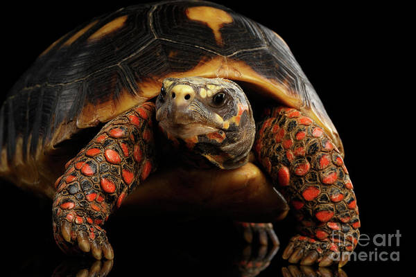 Tortoise Shell Photograph - Close-up Of Red-footed Tortoises, Chelonoidis Carbonaria, Isolated Black Background by Sergey Taran