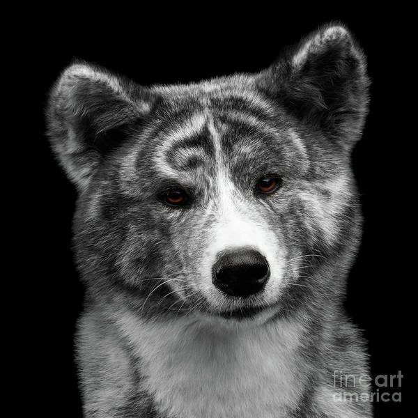 Dogs Photograph - Closeup Portrait Of Akita Inu Dog On Isolated Black Background by Sergey Taran