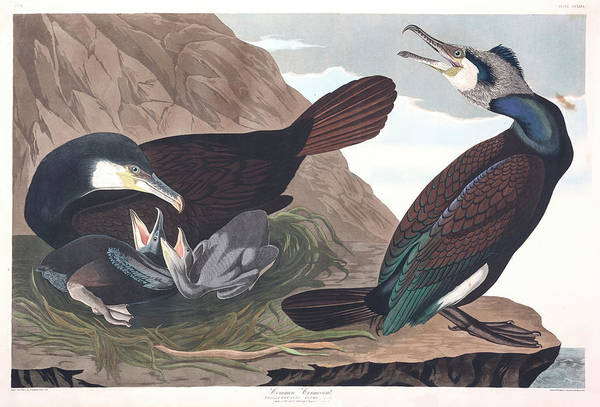 Cormorant Wall Art - Painting - Common Cormorant by John James Audubon