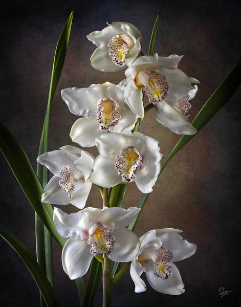 Photograph - Cymbidium Cluster by Endre Balogh
