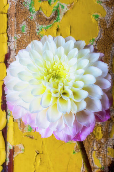 Wall Art - Photograph - Dahlia Against Old Wall by Garry Gay
