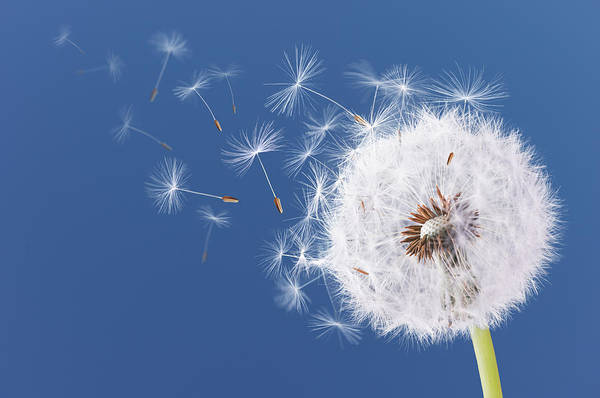 Wall Art - Photograph - Dandelion Flying On Blue Background by Bess Hamiti