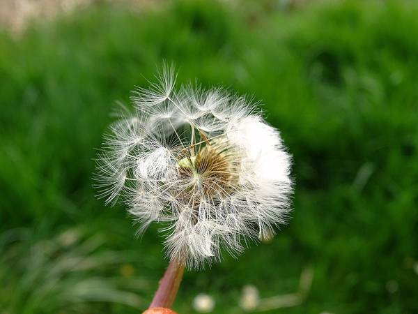Photograph - Dandelion by Mhiss Little