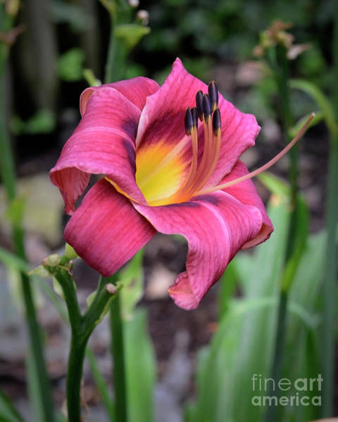 Wall Art - Photograph - Daylily by Larry Dove