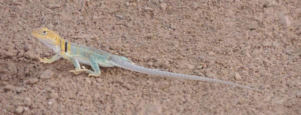 Photograph - Desert Lizard by Andrew Chambers