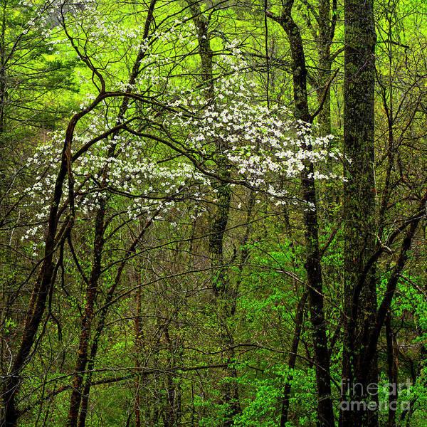 Photograph - Dogwood Monongahela National Forest by Thomas R Fletcher